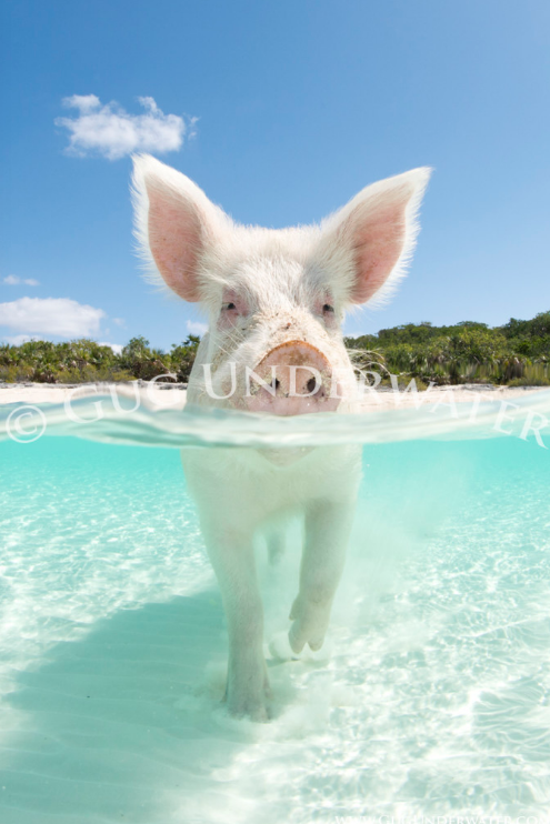 swim_pig_with_watermark.png